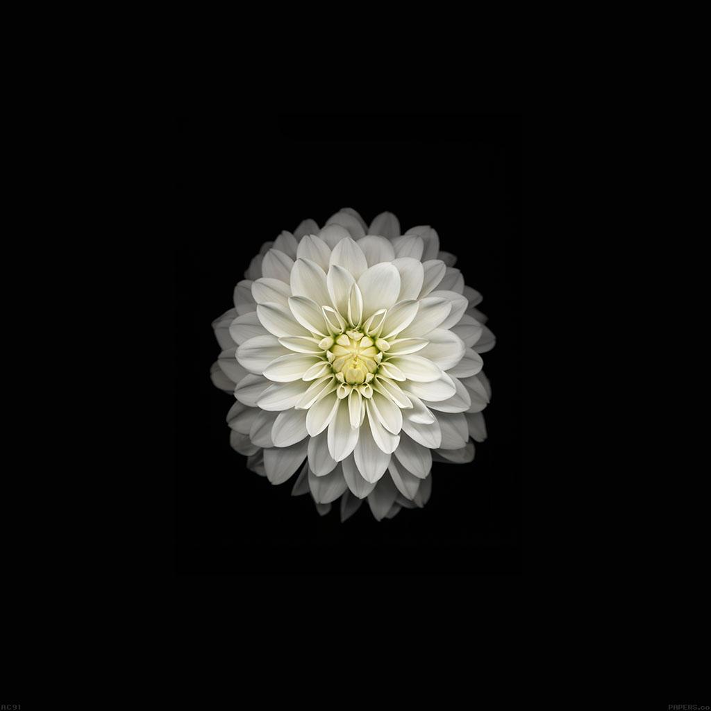 Wallpaper Ac91 Apple Iphone6 Plus Ios8 Flower