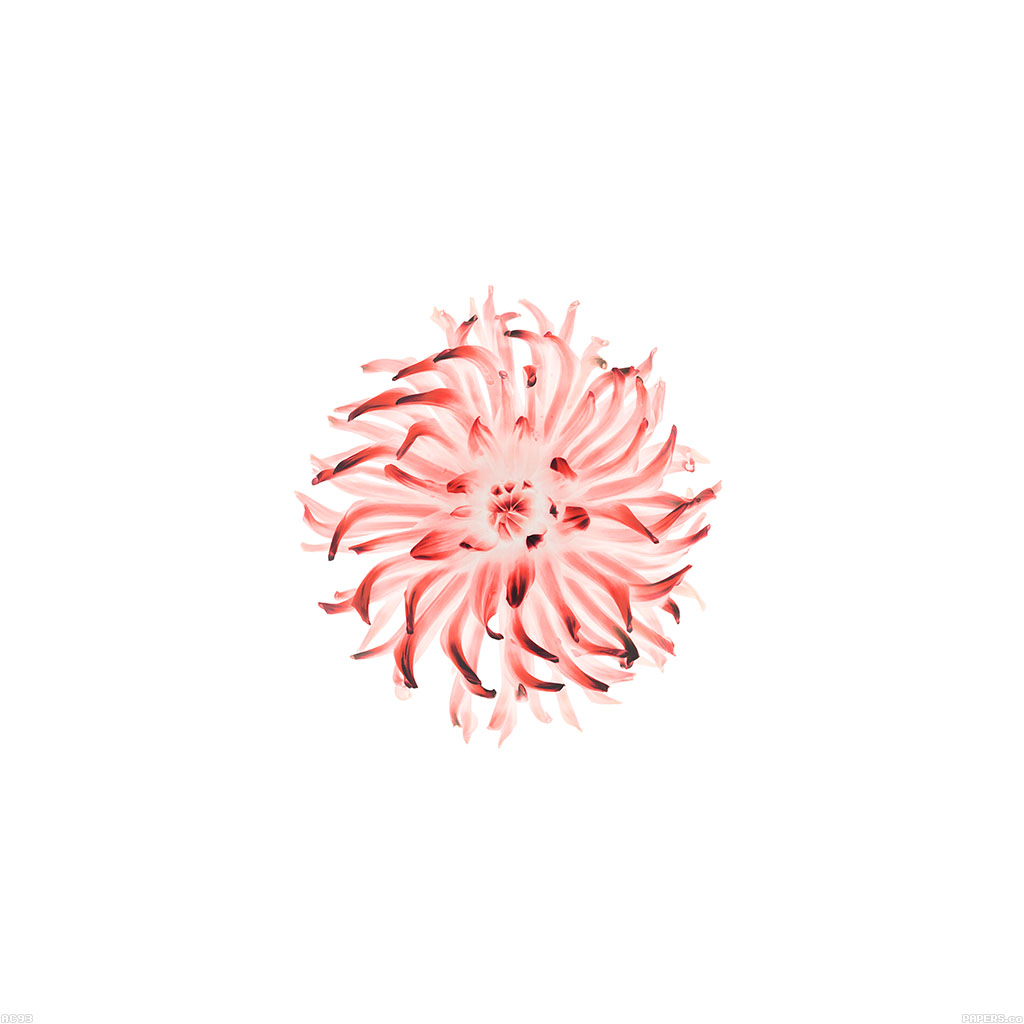 wallpaper-ac93-wallpaper-iphone6-plus-ios8-apple-flower-red-wallpaper
