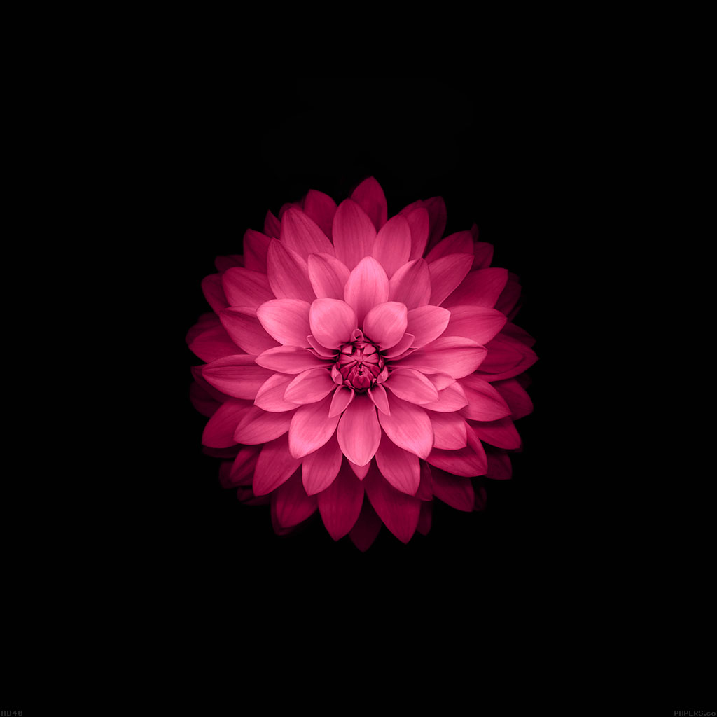 wallpaper-ad40-apple-red-lotus-iphone6-plus-ios8-flower-wallpaper