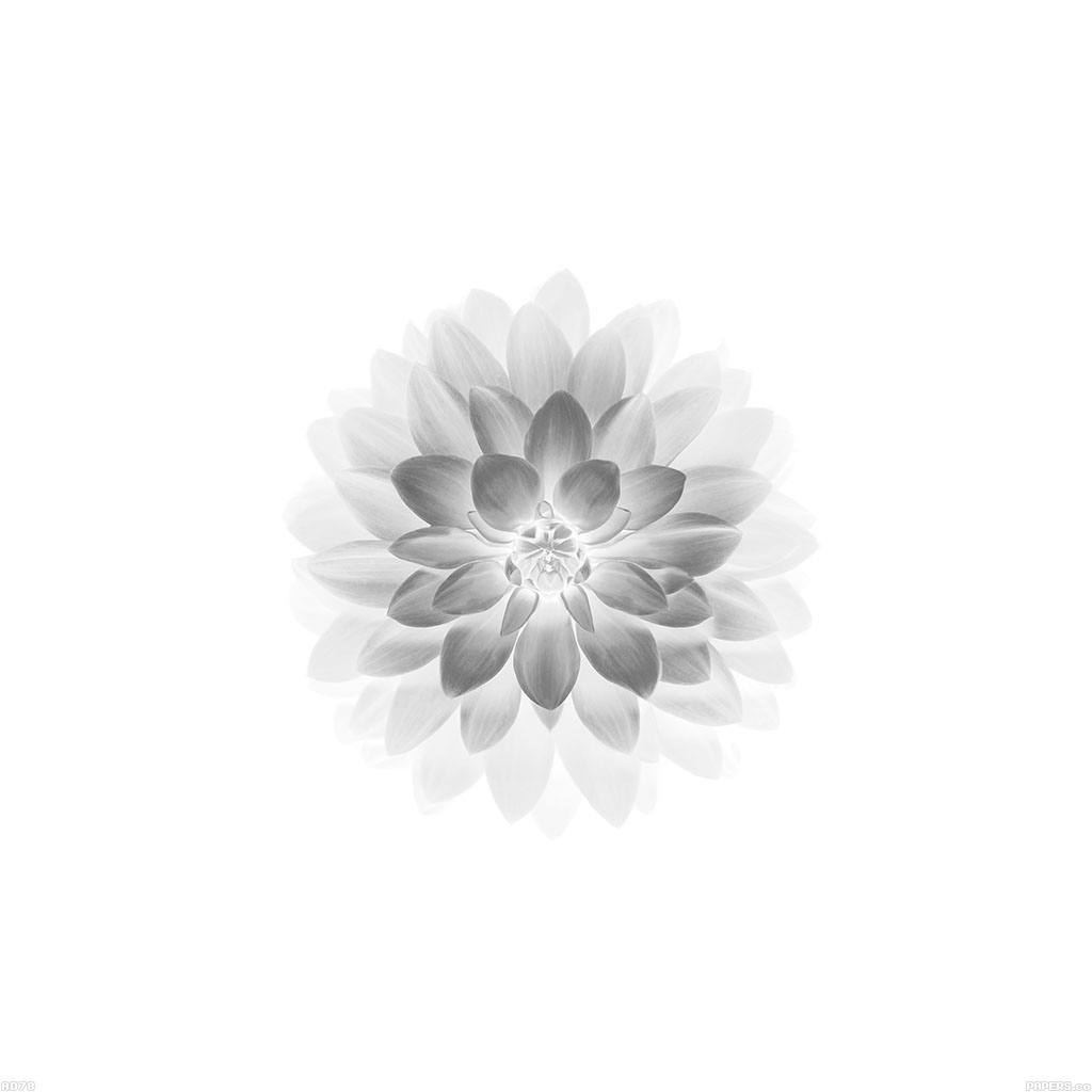 wallpaper-ad78-apple-white-lotus-iphone6-plus-ios8-flower-wallpaper