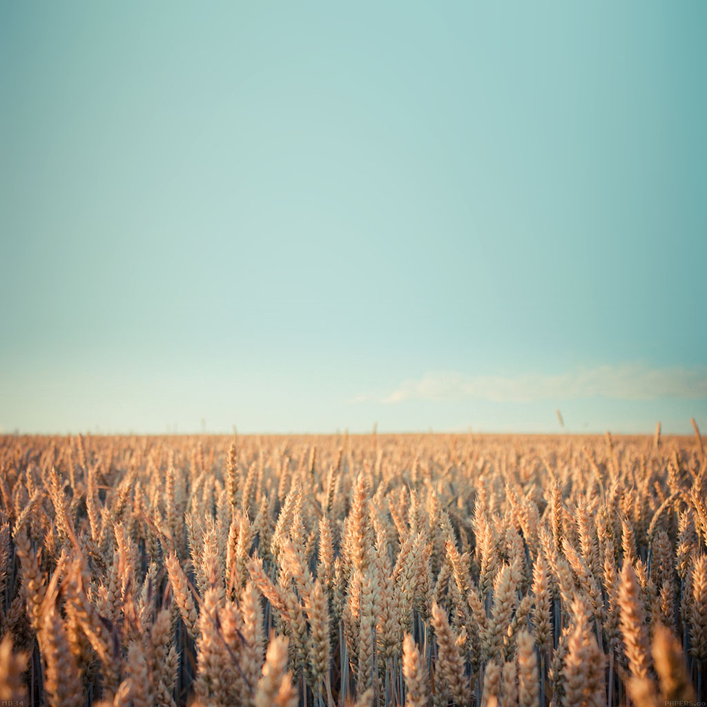 wallpaper-md34-wallpaper-android-rye-field-sky-nature-wallpaper