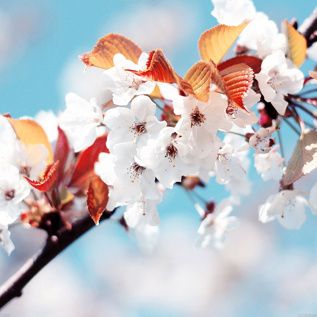 wallpaper-me37-cherry-tree-spring-feel-wallpaper