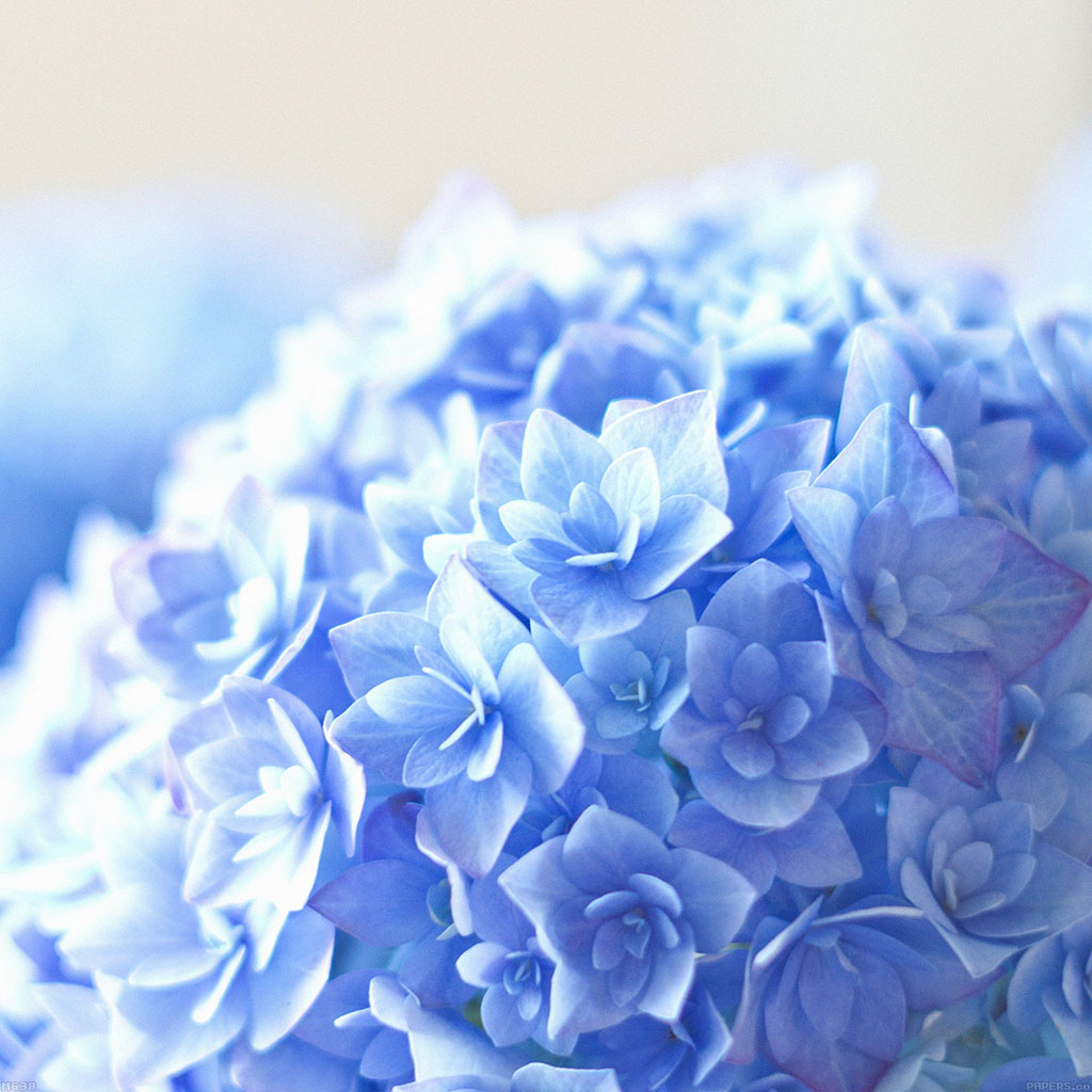 wallpaper-mg38-blue-hortensia-flower-beautiful-nature-wallpaper