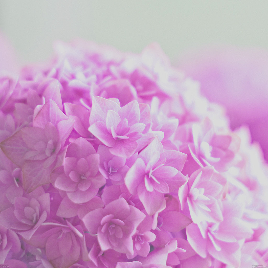 wallpaper-mg39-red-hortensia-flower-beautiful-nature-wallpaper