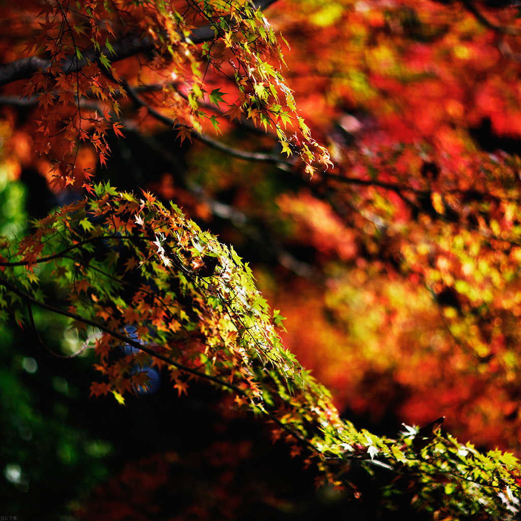 wallpaper-mh97-japanese-maple-tree-fall-nature-wallpaper