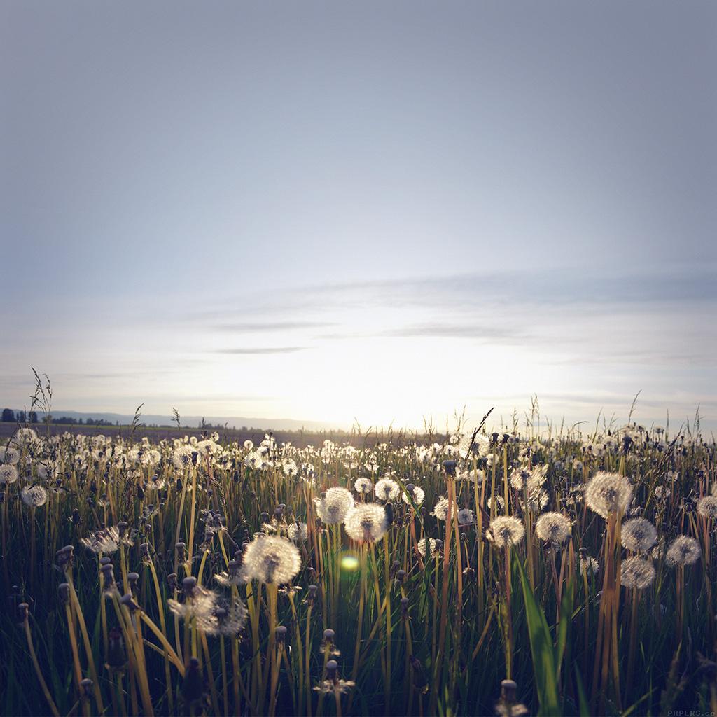 wallpaper-mo32-nature-love-flower-dandelion-wallpaper