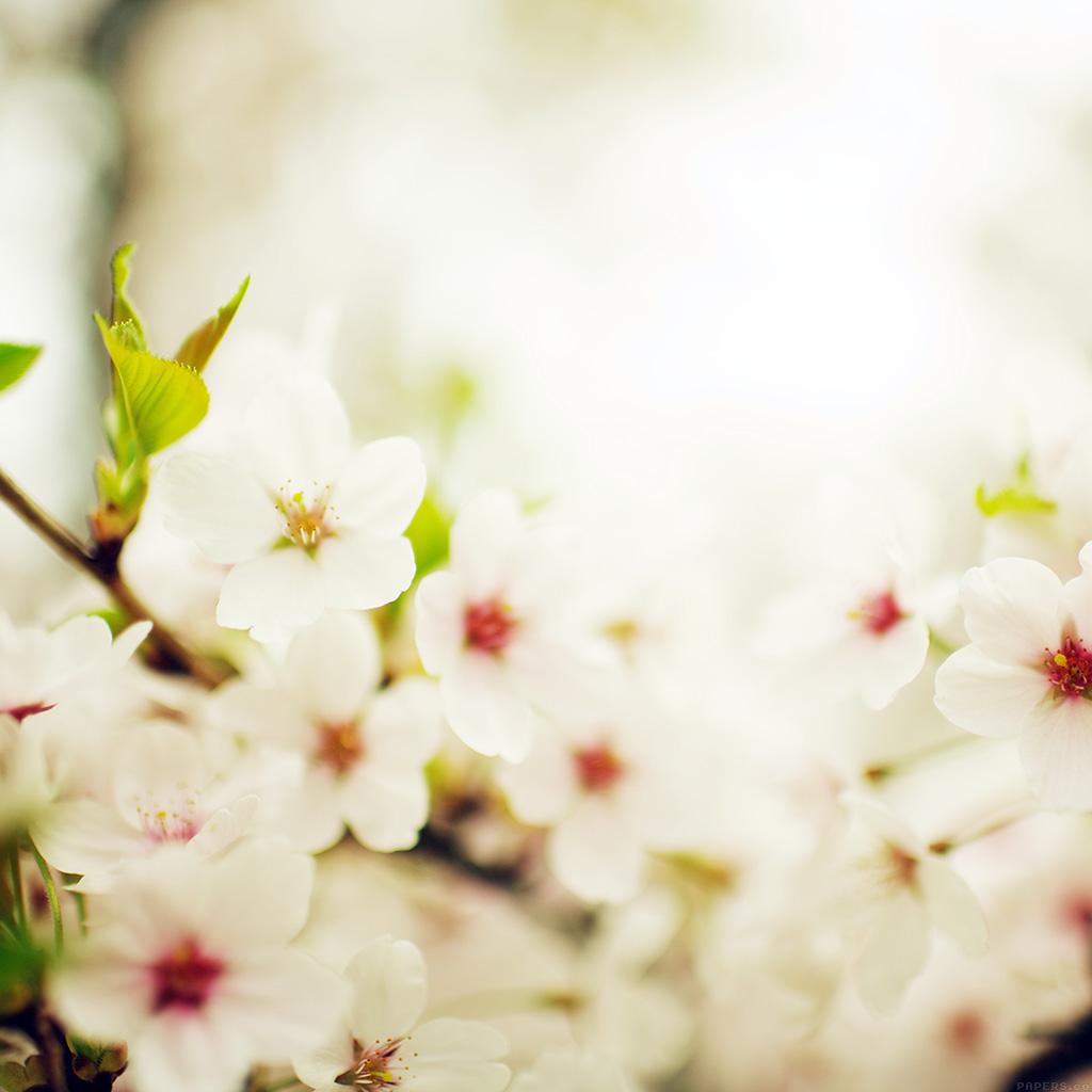 wallpaper-mq75-blossom-cherry-spring-sakura-nature-flower-wallpaper