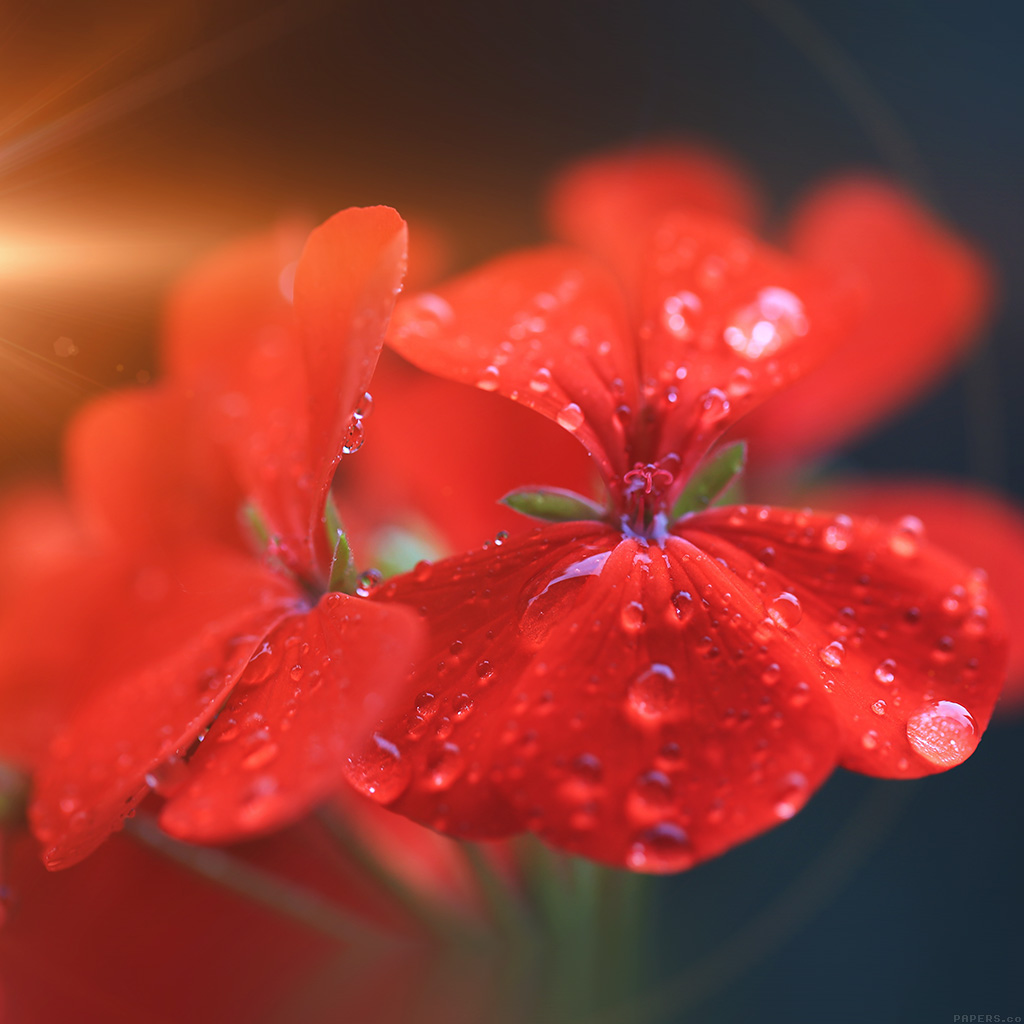 wallpaper-mr31-spring-flower-party-red-nature-flare-wallpaper