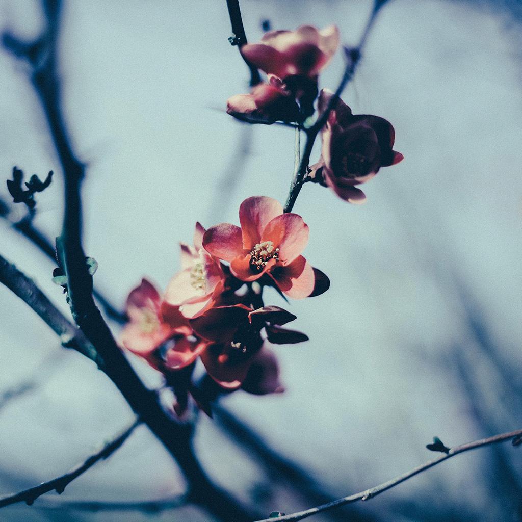 wallpaper-mu10-flower-nostalgia-tree-spring-blossom-nature-wallpaper