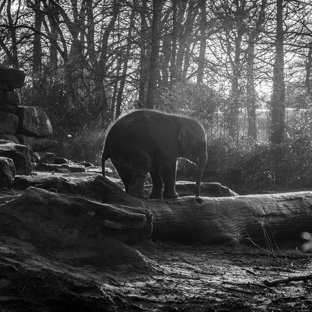 wallpaper-mw67-elephant-dark-bw-animal-cute-nature-baby-wallpaper