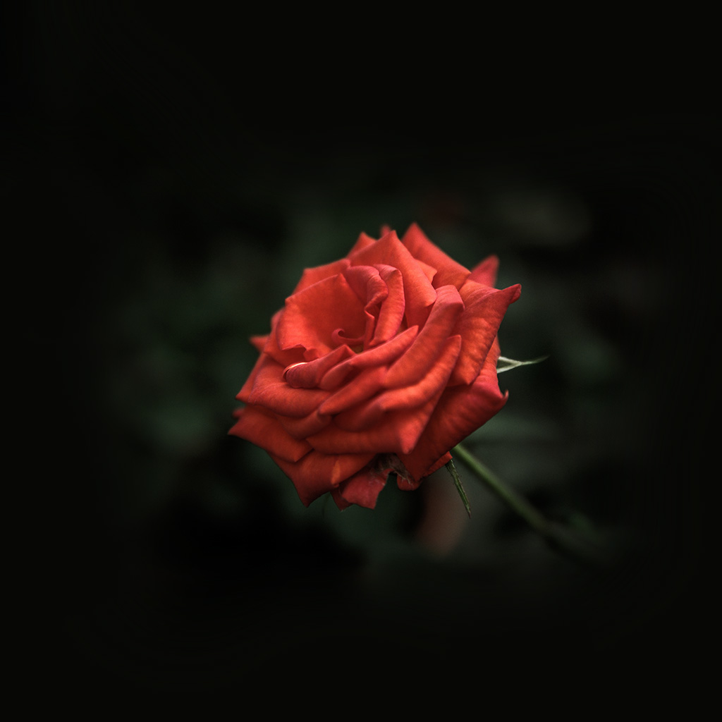 wallpaper-my30-rose-flower-red-love-nature