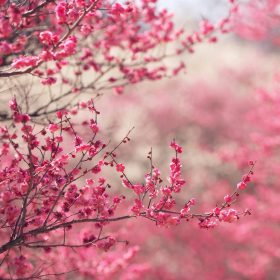 nf14-pink-blossom-nature-flower-spring