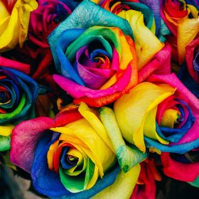 as98-flower-rose-color-rainbow-art-nature