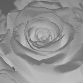 ml61-rose-flower-white-nature