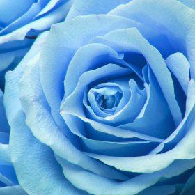 ne44-flower-blue-rose-zoom-love