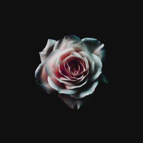 np16-flower-white-dark-red-green-minimal-nature