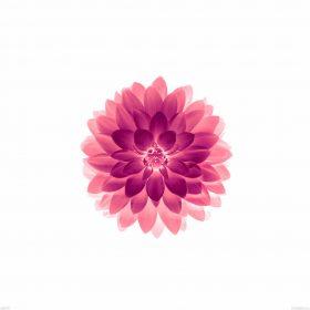 ad77-apple-red-on-white-lotus-iphone6-plus-ios8-flower