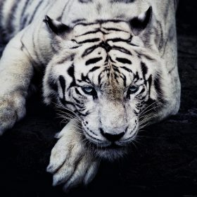 ml56-white-tiger-animal